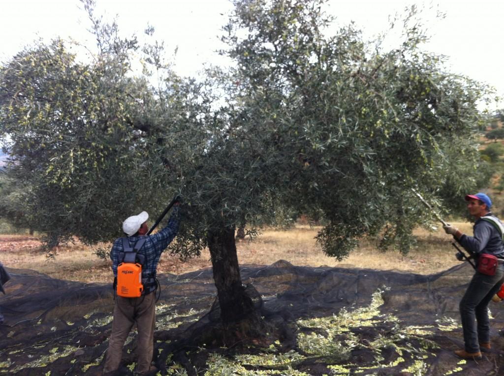 organic olive oil ecolibor