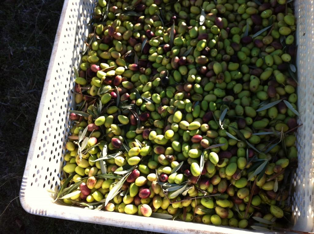 organic early harvest