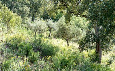 ¿Por qué desaparece el olivar tradicional?